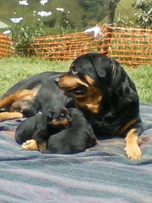 Cachorros Rottweiler Originales