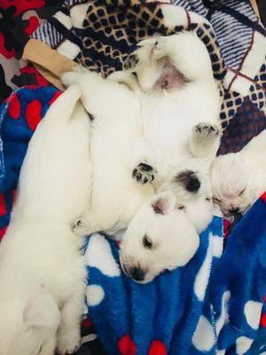 Vendo Cachorros de Raza Terry Westy