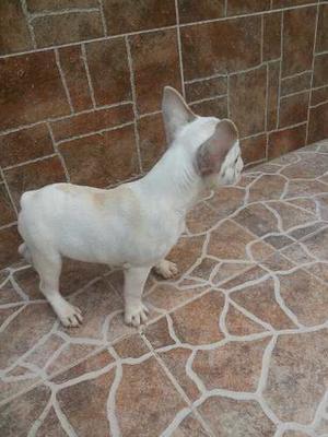 Bulldog Frances Hembra 3 Meses