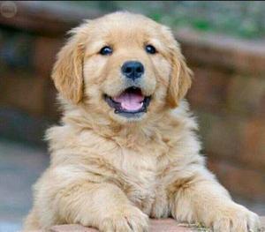 Cachorros Golden Retriever Puros Vacunados Entrega Inmediata