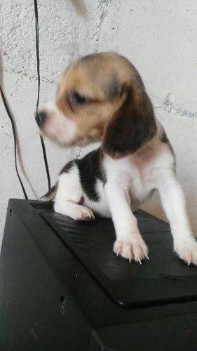 Hermosos Cachorros Beagles Puros Santander
