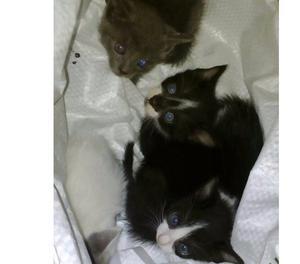 Hermosos gatitos en adopcion