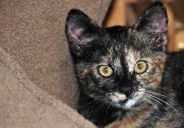 Gatos, Gaticos, Hermosos Gatos, (Gata Raza Carey)