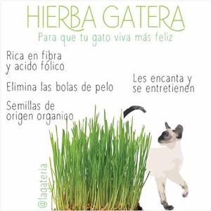 Hierba Gatera, Pasto Para Gatos