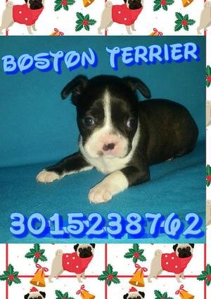 Cachorros 100 Puros Boston Terrier