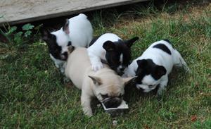 Se vende bonita camáda de Bulldogs Franceses, la mascota