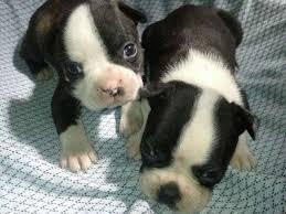 cachorros en venta boston terrier