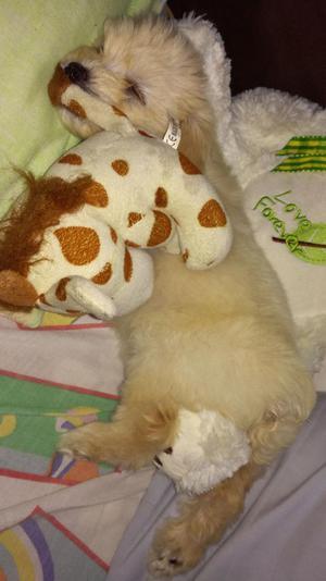 French Poodle Minitoy Tacita de Te