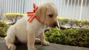 Hermosos Labradores Disponibles