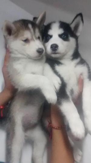 Vendo cachorros siberian husky, vacunados, desparasitados