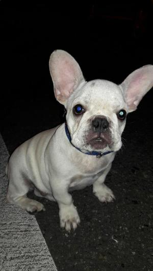 Bulldog Francés Macho Fawn!!