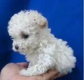 CANICHES MINITOYS FRENCH POODLE MINI TOY ENANITOS CANICHES