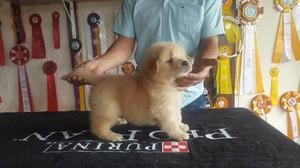 Cachorros Golden Retriever, Altas Lineas Geneticas.