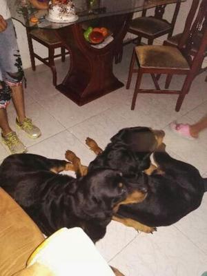 Se Ofrece Perro Rottweiler para Monta