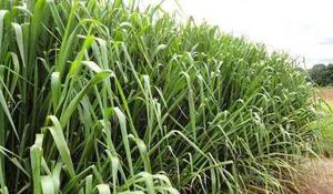 Semillas De Pasto Mombaza Guinea Presentacion 4 Kg
