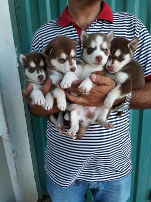 Lobos Husky Siberianos Rojos