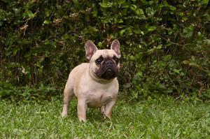 Bulldog Frances de La Mejor Calidad
