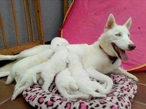 Husky Siberianos Machos