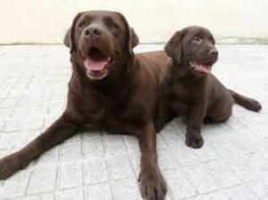 Labradores Negros Dorados