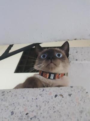 Gato Siames Puro - Cúcuta