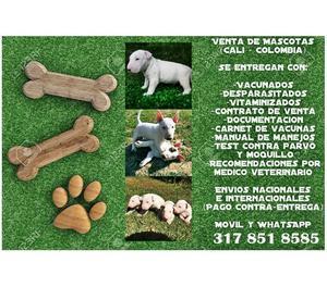 Hermosos cachorros Bullterrier en venta