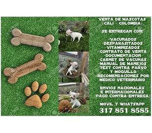 Muy hermosos cachorros chihuahua en venta
