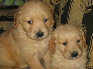 Favorables Golden retriver Hermosos