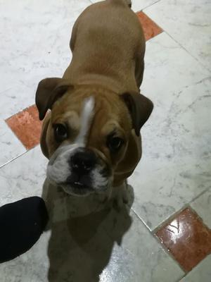 Hermoso Bulldog Ingles 3 Meses