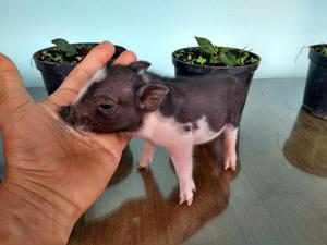 Hermosos Mini Pigs