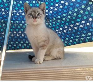 en adopcion hermoso gatico de 3 meses