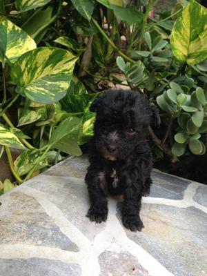Cachorrito French Poodle Tacita Té