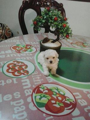 Cachorritos French Poodle Tacita Té