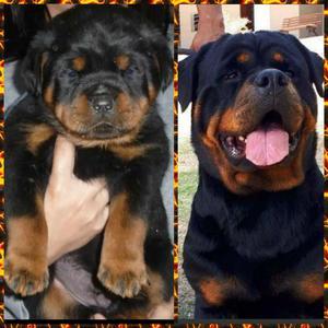 Hermosos Rottweiler Aleman,envios Nacion