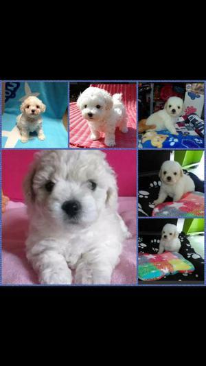 French Poodle Mini Toy,envios Nacionales