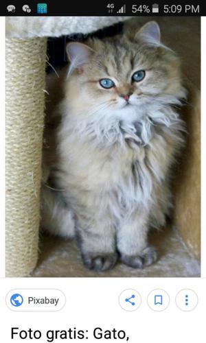 Me Gustaría Adoptar Un Gato Persa