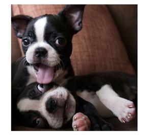 Cachorros Exelentes Boston Terrier