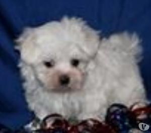 Estoy dando un cachorro para adopción