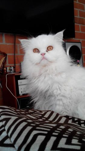 Espectacular Gato Persa Para Monta