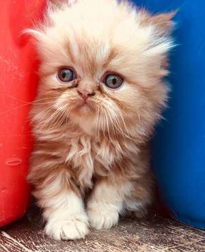 Vendo Gatos Raza Persa