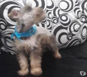 Se vende cachorro schauzers mini
