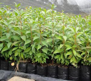 Vivero de plantas y arboles ornamentales cercos posot class for Vendo plantas ornamentales