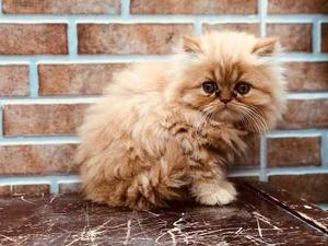 Gato Raza Persa Color Atigrado