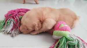 Cachorros Golden Retiever