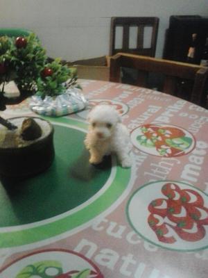 French Poodle Tacita Té Puros