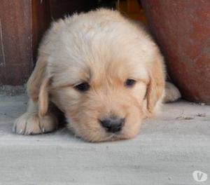 Ofrecemos Unos Lindos Cachorros Golden Retriver