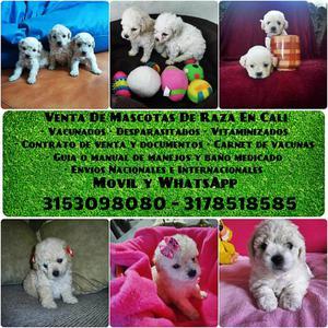 French Poodle Mini Toy tenemos en venta los cachorros