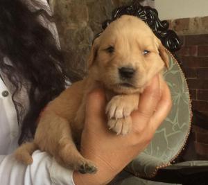 preciosos cachorros golden