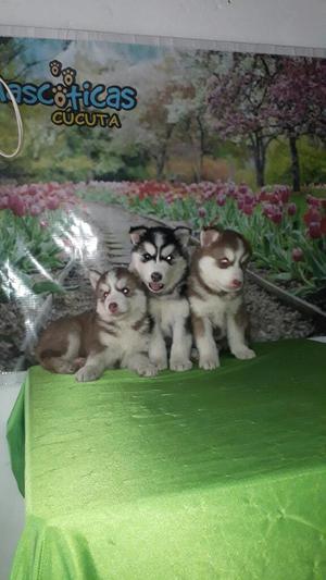Lobos Husky Siberianos Machos