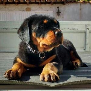 Venta de Hermosos Cachorros Rottweiler