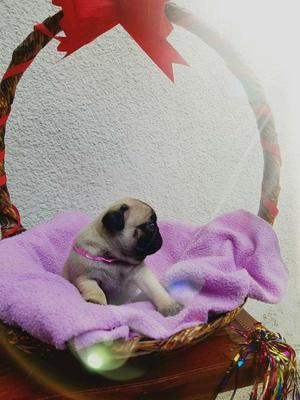 Cachorros Pug Carlinos Miniatura
